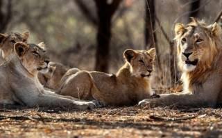 Султаны из мира животных: кто из зверей устраивает свои гаремы