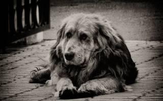 Как понять что собака умирает — от старости, когдат ей больно, основные признаки