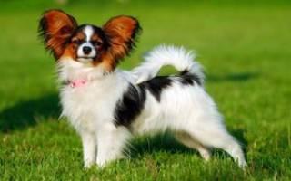Порода собак папильон: история возникновения породы, описание и фото