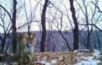 Тигрица в Приморье сделала селфи с детёнышами