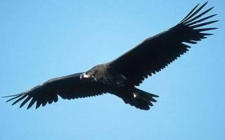 В Приморье в фотоловушку попала самая крупная птица России