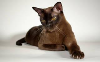 Разведение кошек бурманской породы: особенности окраса, уход, цены и фото бурм