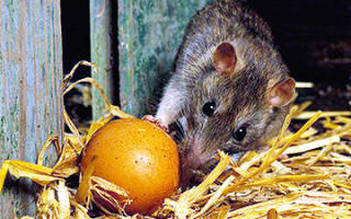 Как избавиться от крыс в курятнике или сарае с помощью народных или химических средств, а также отпугивания