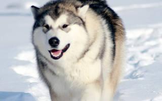 Содержание баламута: описание породы, особенности ухода человеком за собакой и фото