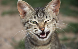 Почему у кошки иногда шевелятся уши