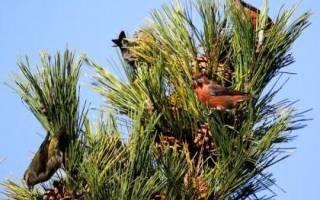 Когда птица клест начинает выводить птенцов: описание клеста, питание и образ жизни