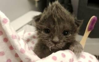 Котёнок с хохолком на голове не хотел пить молоко, но очень хотел жить