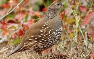 Перепёлка: общая характеристика птицы и описание, условия размножения, фото