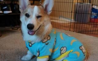 Собаки в пижамах — лучшие фото