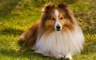 Шелти — фото собаки и ее описание