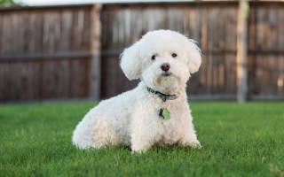 Породы собак с белоснежным окрасом