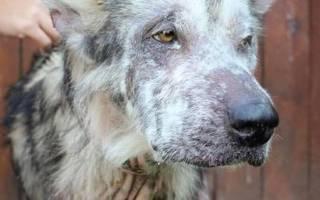 Любовь изменила до неузнаваемости больного пса, прожившего всю жизнь на цепи