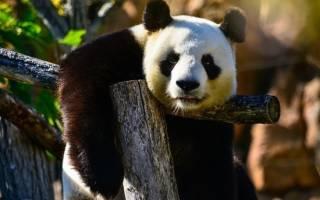 В Китае туристам запретили фотографироваться с пандами