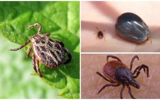 Иксодовые клещи: как выглядят, фото, какие заболевания переносят, чем опасны для человека и животных