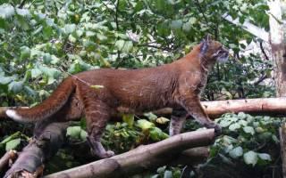 Дикая кошка Темминка — огненное животное с загадочной историей