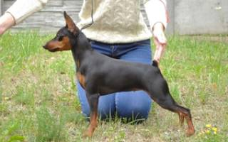 Описание собак породы цвергпинчер и отзывы владельцев карликовых пинчеров