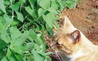 Кошачья мята: нужно ли её давать котам и как она влияет на их поведение