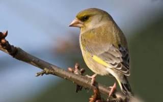 Зеленушка обыкновенная: описание птицы и фото, условия размножения и среда обитания