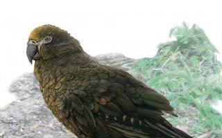 Самый большой попугай в мире ростом 1 метр жил 19 миллионов лет назад