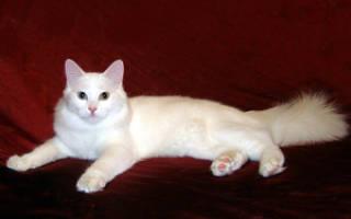 Как вырастить ангорских котов в домашних условиях: описание породы, правила выбора и уход за кошкой, цены