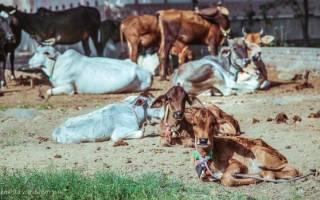 В Индии скоростной поезд сломался из-за стада коров в первый же день работы