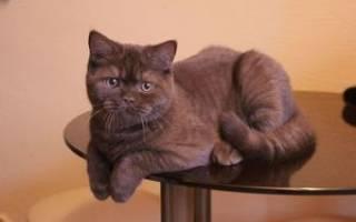 Особенности британцев: описание, окрас шоколадного британца, фото котов