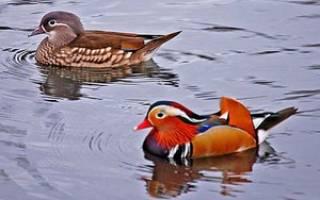 Утка мандаринка: описание внешнего вида птиц, сведения о поведении, питании и размножении