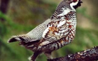 Рябчик: общая характеристика и описание внешнего вида, где живёт эта птица, ее фото