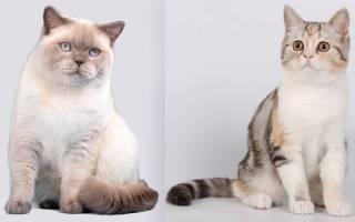 Как отличить породистого котенка от обычного