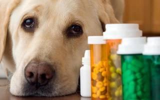 Цистит у собаки: причины возникновения и симптомы, лечение в домашних условиях, профилактика
