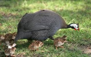 Что за птица домашняя цесарка: повадки, откуда появилась в Европе и России и история названия, породы