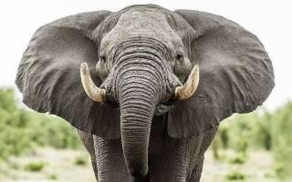 В Африке слон пришёл в лагерь туристов и попытался разгромить фургон