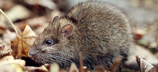 Крысы в частном доме или квартире: как от них избавиться, чего они боятся, признаки их появления