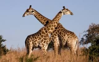 Как характеризуются жирафы: максимальная скорость, особенности телосложения и длина шеи, общий рост и вес