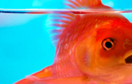Как определить стресс у рыб