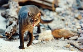 Ягуарунди — необычный представитель семейства кошачьих