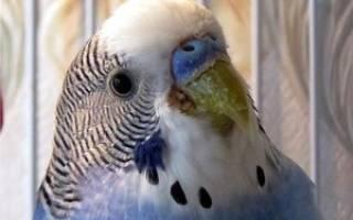 Чириканье волнистого попугая — о чём оно, видео и отзывы