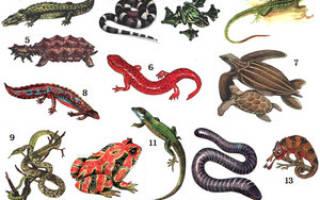 Список пресмыкающихся животных, особенности поведения рептилий
