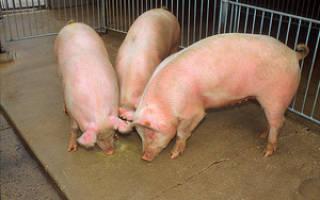 Как правильно кормить поросят, чтобы они быстро набрали вес: правила выращивания поросят в домашних условиях