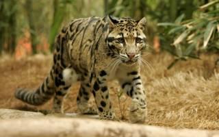 Дымчатый леопард — древнейший представитель рода кошачьих
