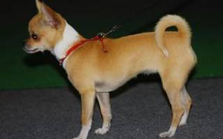 Собаки чихуахуа: фото гладкошерстных представителей данной породы и их описание