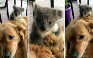 В Австралии золотистый ретривер спас от холода маленькую коалу