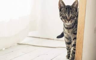 По каким причинам кошка входит в новый дом первой