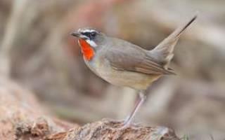 Птица соловей: условия обитания, перелетная или нет, где строит гнездо и чем питается