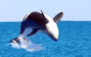 Кто такие касатки — это дельфины или киты: чем питаются и как выглядят, где обитают, их фото