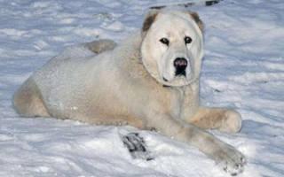 Характеристика породы среднеазиатской овчарки (алабай): особенности содержания взрослой собаки, щенков и фото