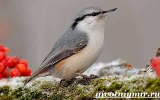 Как выглядит птица поползень: описание, фото, перелетная она или нет