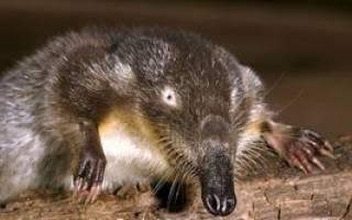 Описание выхухоля: его особенности, где предпочитает жить и как размножается, фото животного