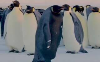 Найден редчайший чёрный пингвин