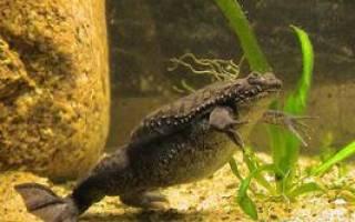 Необычный представитель водной среды — суринамская лягушка пипа и ее особенности